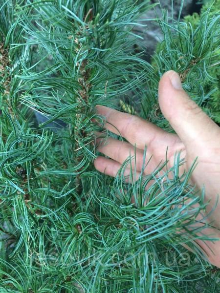 Сосна веймутовая Tiny Kurls 50-60 см