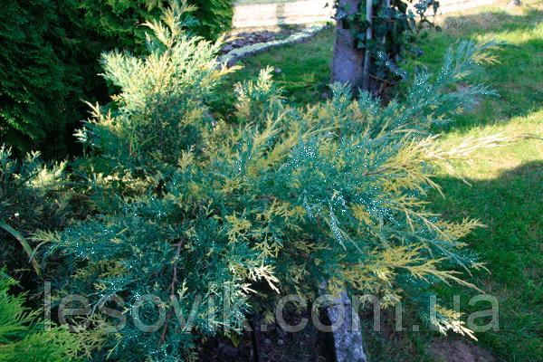 Можжевельник средний Блю энд Голд (Juniperus media Blue and Gold) с2