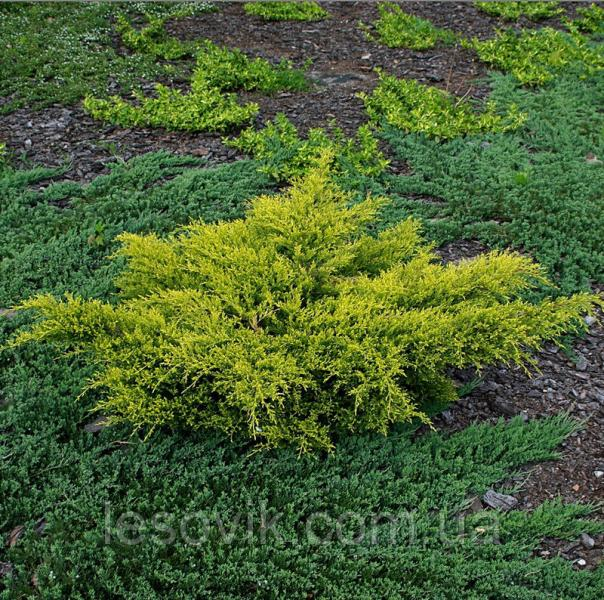 "Можжевельник средний ""Олд Голд""(Juniperus x pfitzeriana 'Old Gold')  с5"