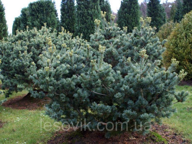 Сосна обыкновенная Ватерери (Pinus sylvestris Watereri) С20 90