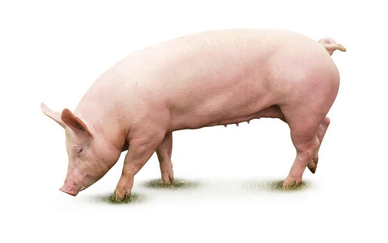 БВМД Финиш для Свиней «SHENCON GP» 10%