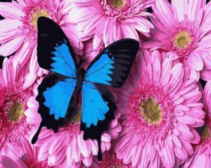Фото Картины на холсте по номерам, Букеты, Цветы, Натюрморты KGX 34056 Бабочка на хризантемах Картина по номерам на холсте 40х50см