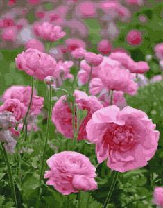 Фото Картины на холсте по номерам, Букеты, Цветы, Натюрморты Картина по номерам в коробке Paintboy Розовая нежность 40х50см (KGX 29317)